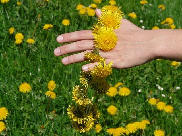 Dandelions as medicine