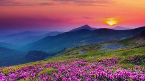 Purple flowers near mountains
