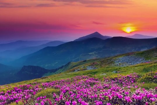 Purple flowers near mountains